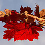 Canadian Maple Leaves In The Fall Poster