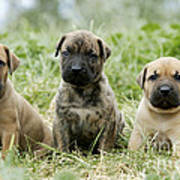 Canary Dog Puppies Poster
