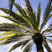 Canary Island Date Palm Poster