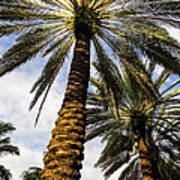 Canary Island Date Palms Poster