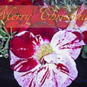 Candy Cane Flower-2 Poster