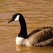 Canidian Goose On Golden Pond Poster