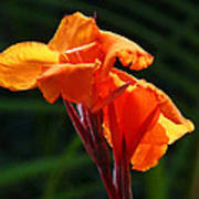 Canna In Sunlight Poster by Margaret Saheed