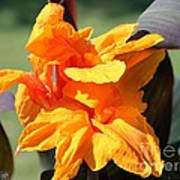 Canna Lily Named Wyoming Poster