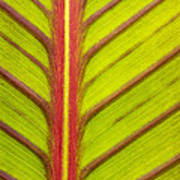 Canna Lily Red Stripe  Poster