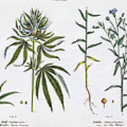 Cannabis And Flax Poster