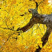 Canopy Of Autumn Leaves Poster
