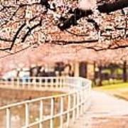 Canopy Of Cherry Blossoms Over A Walking Trail Poster