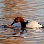 Canvasbacks Mating Poster