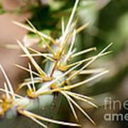 Canyon Cactus Poster