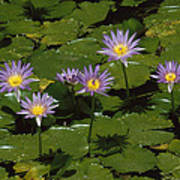 Cape Blue Water-lily Group Blooming Poster