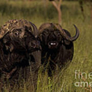 Cape Buffalo   #6884 Poster