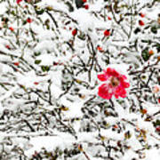 Cape Cod Beach Rose In Fresh Snow Poster