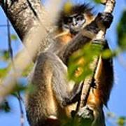 Capped Langur Poster