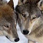 Captive Close Up Wolves Interacting Poster