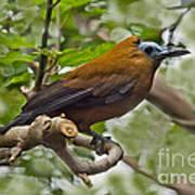 Capuchinbird Poster