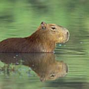 Capybara Wading Pantanal Brazil Poster