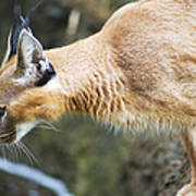 Caracal About To Jump Poster