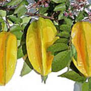 Carambolas Starfruit Three Up Poster
