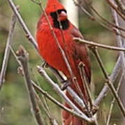 Cardinal 123 Poster
