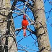 Cardinal Bird  Poster
