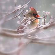 Cardinal - Bird - Lady In The Rain Poster