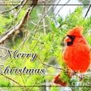 Cardinal Christas Card Poster