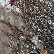 Cardinal Couple In Evergreen Poster