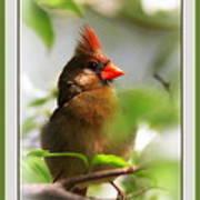 Cardinal In Dogwood Poster