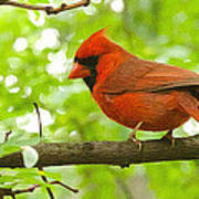 Cardinal In Red Poster