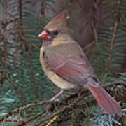 Cardinal In Spruce Poster by John Kunze
