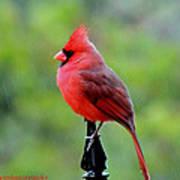 Cardinal In The Rain Poster