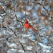 Cardinal In Winter Poster by Cim Paddock