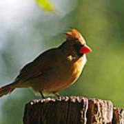 Cardinal Light Poster