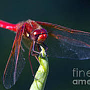 Cardinal Meadowhawk Dragonfly Poster