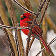 Cardinal On A Winter Day Poster
