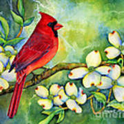 Cardinal On Dogwood Poster