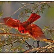 Cardinal Taking Flight Poster
