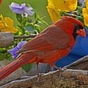 Cardinal With Pansies Poster