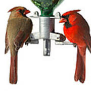 Cardinals On White Poster by John Kunze