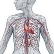 Cardiovascular System Female Poster