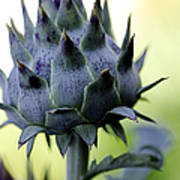 Cardoon Waiting To Bloom Poster
