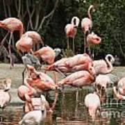 Caribbean Flamingos - Phoenicopterus Ruber Ruber Poster