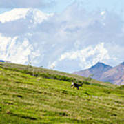 Caribou And Mount Mckinley Poster