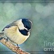 Carlina Chickadee With Soft Blue Bokeh Poster