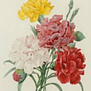 Carnations From Choix Des Plus Belles Fleures Poster by Pierre Joseph Redoute