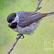 Carolina Chickadee On Angled Perch Poster