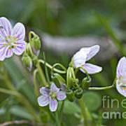 Carolina Spring Beauty - Wide-leaved Spring Beauty - Claytonia Caroliniana Poster
