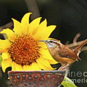 Carolina Wren And Sunflowers Poster