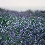 Carpinteria California Wildflowers Poster